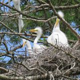 Nesting Baby Egrets Being Fed by Their Mother. High up in a Pennsylvania tree stock image