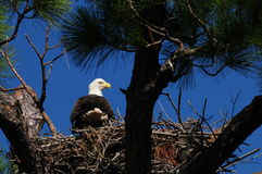 Nesting Bald Eagle. An American Bald Eagle sits on it's nest in Punta Gorda Florida Royalty Free Stock Image