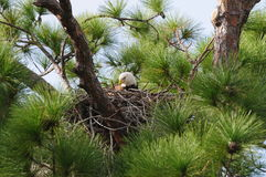 Nesting Bald Eagle Stock Images