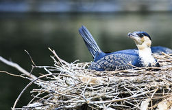 Nesting Cormorant Royalty Free Stock Images