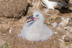 Nesting black browed albatross chick Stock Images