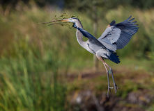 Nesting blue heron in flight Stock Photo