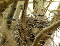 Nesting Blue-jay. A bluejay sitting in a nest in a tree stock photography