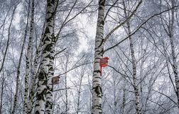 Nesting box on birch. Frosted birch trees with nesting boxes, cold winter day in the park royalty free stock image
