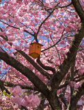Nesting box in a Japanese Cherry Stock Photo