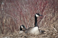 Nesting Canada Geese Stock Photography