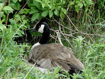 Nesting Canada Goose Royalty Free Stock Images