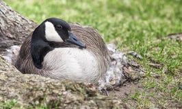 Nesting Canada goose Royalty Free Stock Image