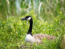 Nesting Canadian Goose sitting on her eggs Stock Image