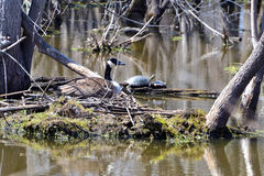 Nesting canadian goose Royalty Free Stock Images