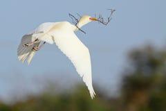 Nesting cattle egret Stock Photos