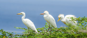 Nesting Cattle Egret Royalty Free Stock Photo
