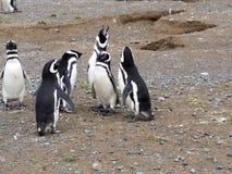 Nesting colony of Magellanic Penguin, Spheniscus magellanicus, Isla Magdalena, Patagonia, Chile. The nesting colony of Magellanic Penguin, Spheniscus Stock Images