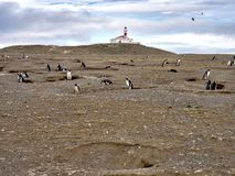 Nesting colony of Magellanic Penguin, Spheniscus magellanicus, Isla Magdalena, Patagonia, Chile Stock Photo