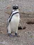 Nesting colony of Magellanic Penguin, Spheniscus magellanicus, Isla Magdalena, Patagonia, Chile. The nesting colony of Magellanic Penguin, Spheniscus Stock Photo