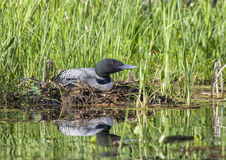 Nesting common loon Royalty Free Stock Image