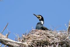 Nesting cormorant. In Danube Delta Stock Images