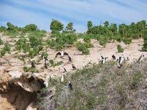 Nesting Cormorants: Western Australia Stock Images