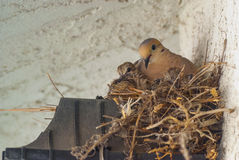 Nesting Doves. A family of doves nest above a light fixture Royalty Free Stock Image