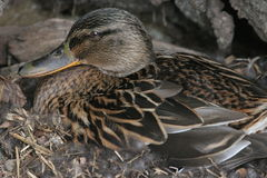 Nesting Duck Royalty Free Stock Photography
