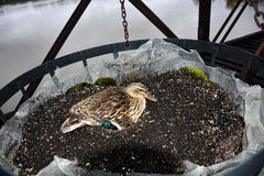 Nesting duck. A duck sitting on eggs in a nest she has built in a hanging basket Royalty Free Stock Photography