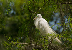 Nesting Egret Stock Photo