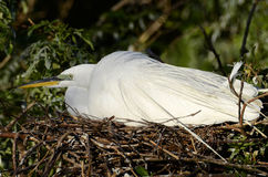 Nesting Egret. An image of a nesting Great Egret shot at the rookery at Gatorland in Kissimmee, FL Royalty Free Stock Photography