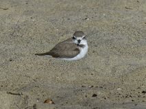 Nesting endangered Snowy Plover in the sand at Malibu Beach Stock Image