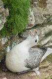 Nesting Female Fulmar Royalty Free Stock Photo
