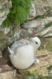 Nesting Female Fulmar Royalty Free Stock Photography