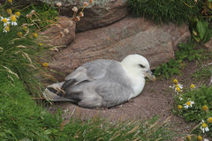 Nesting fulmar (Fulmarus glacialis) Royalty Free Stock Photo