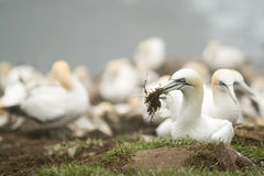 Nesting Gannet royalty free stock photos