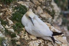 Nesting Gannet Stock Photos