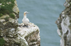 Nesting gannet on a cliff headland Royalty Free Stock Photos