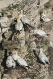 Nesting Gannet, Morus bassanus, perched on the side of a cliff. Royalty Free Stock Photo
