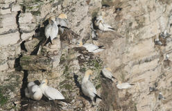 Nesting Gannet, Morus bassanus, perched on the side of a cliff. Stock Photography