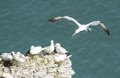 Nesting gannets on a cliff headland Stock Photo