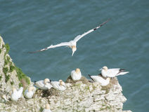 Nesting gannets on a cliff headland Royalty Free Stock Photos