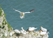 Nesting gannets on a cliff headland Stock Photos