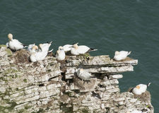 Nesting gannets on a cliff headland Royalty Free Stock Photo