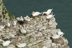 Nesting gannets on a cliff headland Royalty Free Stock Photography