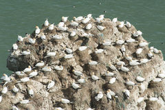 Nesting gannets on a cliff headland Royalty Free Stock Image