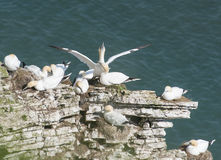 Nesting gannets on a cliff headland Stock Images