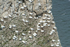 Nesting gannets on a cliff headland Stock Image