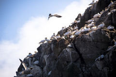 Nesting gannets. A gannet trying to land on a cliff full of nests stock image