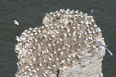 Nesting Gannets. Royalty Free Stock Photos