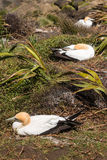 Nesting gannets Royalty Free Stock Image