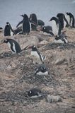 Gentoo Penguins on Cuverville Island, Antarctica Royalty Free Stock Photography