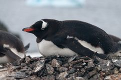 Gentoo Penguins on Cuverville Island, Antarctica Royalty Free Stock Photo