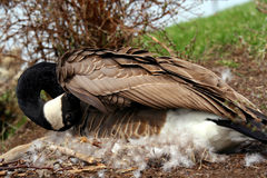 Nesting Goose. A nesting Canada Goose in a city park. Ottawa, Ontario. Canada Royalty Free Stock Image